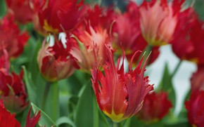 Picture flowers, spring, tulips, red, buds, bokeh