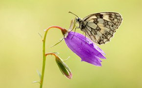 Picture flower, summer, drops, macro, yellow, background, lilac, butterfly, insect, white, bell, motley