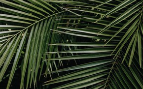 Picture green, leaves, palm