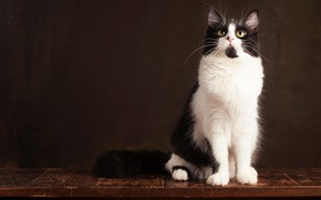 Picture cat, cat, look, pose, the dark background, black and white, muzzle, sitting, Studio