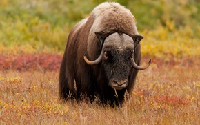 Picture field, autumn, look, face, nature, bull, musk ox