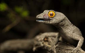 Picture tailed gecko, Strophurus spinigerus, Soft spiny