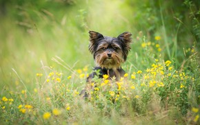 Picture greens, summer, grass, look, face, flowers, nature, pose, green, background, glade, portrait, dog, yellow, puppy, …