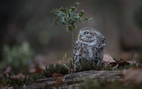 Picture owl, bird, moss, Holly, The little owl