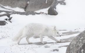 Picture winter, white, snow, nature, walk, Fox