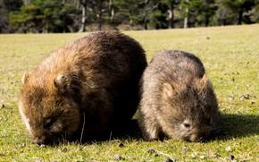 Picture Australia, two, mammals, chord, marsupials, mom and baby, Wombat, dvortsovye, ambatovy