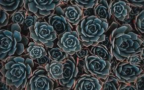 Picture background, plants, succulent, succulents
