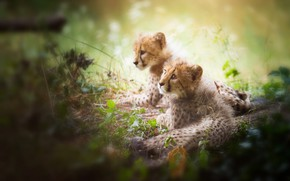 Wallpaper look, light, cats, nature, pose, vegetation, pair, kittens, a couple, Duo, wild, two, lie, bokeh, ...