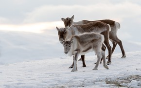 Picture winter, snow, family, three, deer, fawn, trio, reindeer, North