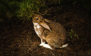 Picture branches, the dark background, hare, rabbit, needles, Bunny, rodent, meal