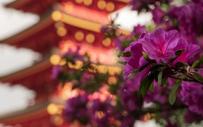 Picture flowers, Asia, pagoda, pink, bokeh, Azalea, rhododendrons
