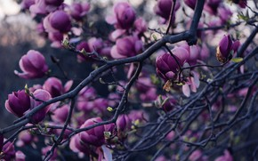 Picture flowers, branches, Bud, Magnolia
