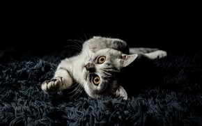 Picture cat, look, pose, kitty, grey, portrait, legs, pile, muzzle, Mat, black background, kitty, striped, cutie, …