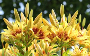 Picture summer, Lily, flowerbed, yellow lilies