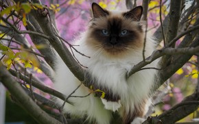 Picture cat, cat, look, leaves, branches, nature, pose, tree, portrait, lies, beauty, blue eyes, bokeh, marks, …