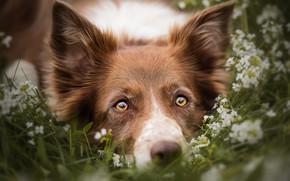 Wallpaper summer, grass, eyes, look, face, flowers, close-up, nature, portrait, dog, yellow, meadow, lies, red, ears, ...