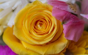 Picture macro, flowers, rose, drop, bouquet, yellow