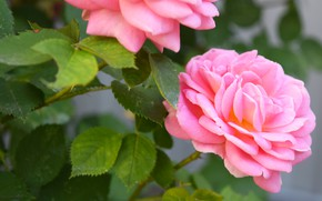 Picture summer, flowers, pink roses, macro flowers nature