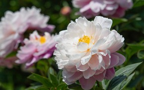 Picture leaves, light, flowers, garden, white, peonies, lush