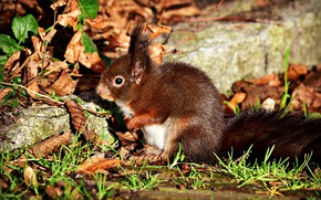 Picture autumn, leaves, protein, rodent
