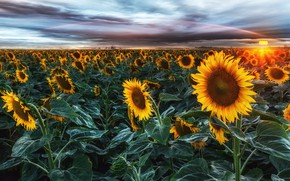 Picture field, summer, the sky, leaves, the sun, clouds, sunflowers, landscape, sunset, flowers, clouds, beauty, the …