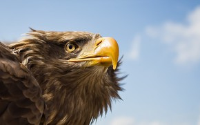 Picture bird, Tawny Eagle, Awaiting Command