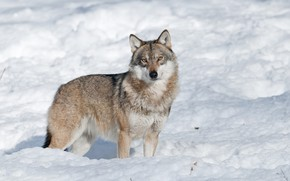 Picture winter, look, face, snow, nature, grey, wolf, the snow