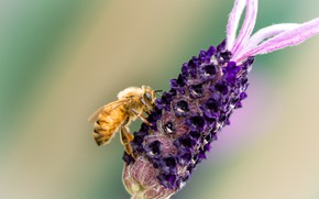 Picture flower, bee, background, a blade of grass, Fleur Walton