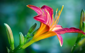 Picture flower, macro, pink, Lily, daylilies