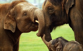 Picture nature, family, elephants