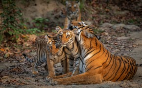 Picture leaves, nature, tiger, pose, lies, kids, tigers, tigress, the cubs, tiger, tiger, kids, cubs, mother, …