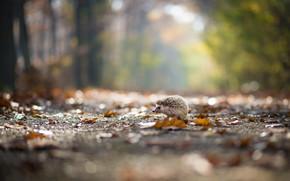 Picture autumn, leaves, nature, Park, hedgehog, walk, falling leaves, path, hedgehog, bokeh
