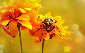 Picture summer, macro, flowers, orange, background, spider, yellow, petals, bokeh