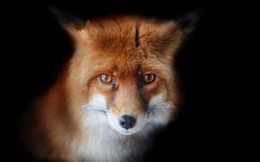 Picture fox, look, Oleg Bogdanov