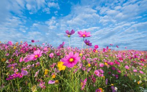 Wallpaper field, summer, the sky, flowers, colorful, meadow, summer, pink, field, pink, flowers, cosmos, meadow