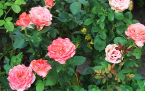 Picture autumn, flowers, roses