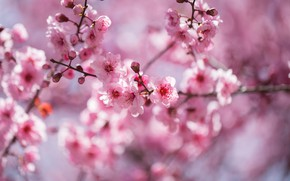 Picture flowers, branches, nature, cherry, background, spring, Sakura, pink, flowers, flowering, aroma, bokeh, the spring bloom