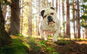 Picture forest, nature, each, dog