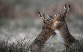 Picture squirt, Boxing, rabbits, showdown, bokeh, sparing, two birds