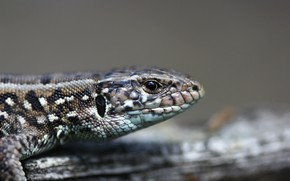 Picture background, animal, lizard