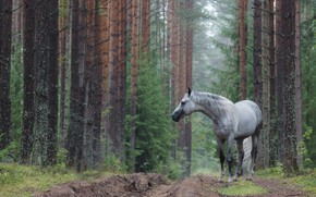 Picture road, forest, horse, grey apples