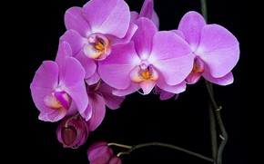 Picture orchids, black background, pink Orchid