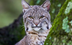 Picture look, face, moss, lynx, wild cat