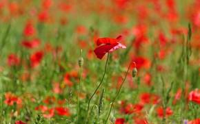 Picture flower, flowers, Mac, Maki, meadow, red, a lot, bokeh, poppy field