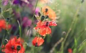 Picture field, grass, flowers, glade, Mac, Maki, blur, red, bokeh