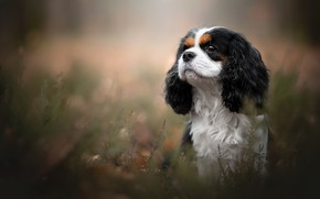 Picture portrait, dog, The cavalier king Charles Spaniel