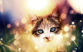 Picture cat, cat, look, face, light, kitty, treatment, kitty, blue eyes, bright colors, bokeh