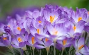 Picture macro, crocuses, a lot, saffron