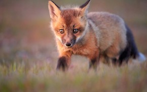 Picture grass, portrait, blur, Fox, walk, face, Fox, Fox