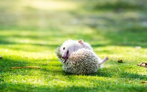 Picture greens, language, white, summer, grass, look, rays, light, nature, pose, glade, muzzle, shadows, hedgehog, hedgehog, …